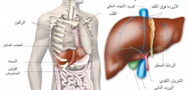 أين يوجد الكبد فى جسم الإنسان موقع مصادر