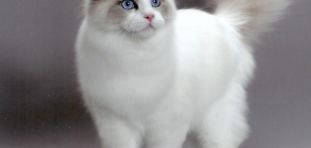 أنواع القطط الشيرازي