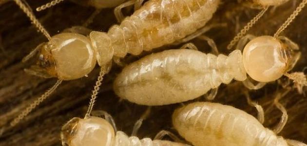 أسباب ظهور النمل الأبيض في البيت موقع مصادر