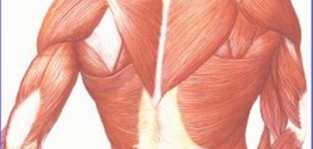كم عدد عضلات الجسم البشري موقع مصادر