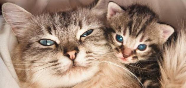 كم هي فترة حمل القطط موقع مصادر
