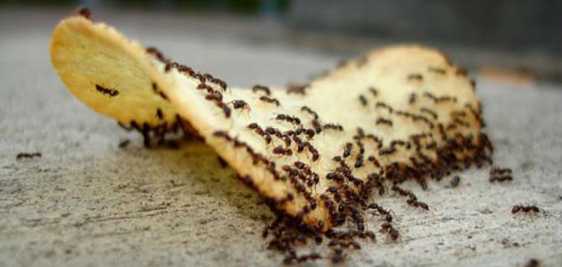 سبب وجود النمل في البيت موقع مصادر