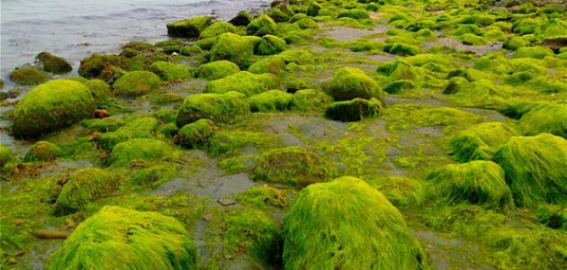 ما أثر الطحالب على الكائنات الحية الأخرى