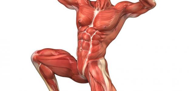 كم عدد عضلات الجسم موقع مصادر