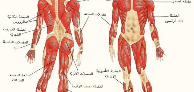 كم عدد العضلات في الجسم موقع مصادر