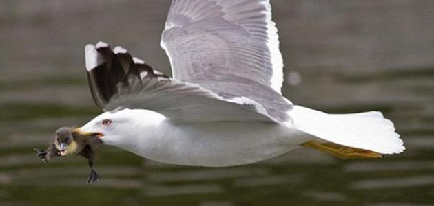 بحث عن طائر النورس موقع مصادر