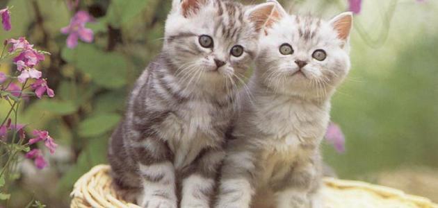 معلومات عن تربية القطط موقع مصادر
