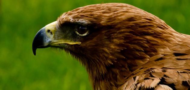 ما هي الطيور الجارحة موقع مصادر