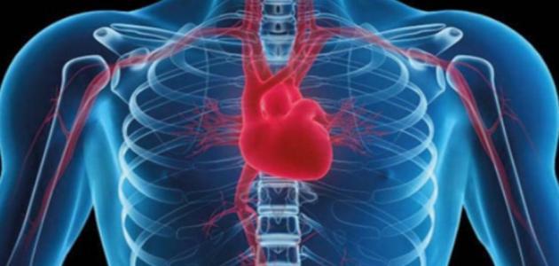 أين يوجد القلب فى جسم الإنسان موقع مصادر
